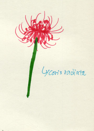 lycoris radiata.jpg